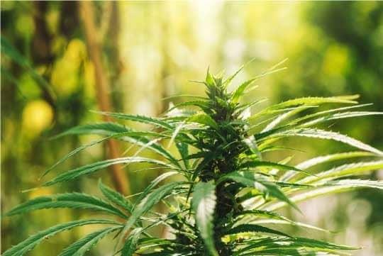 hemp marijuana