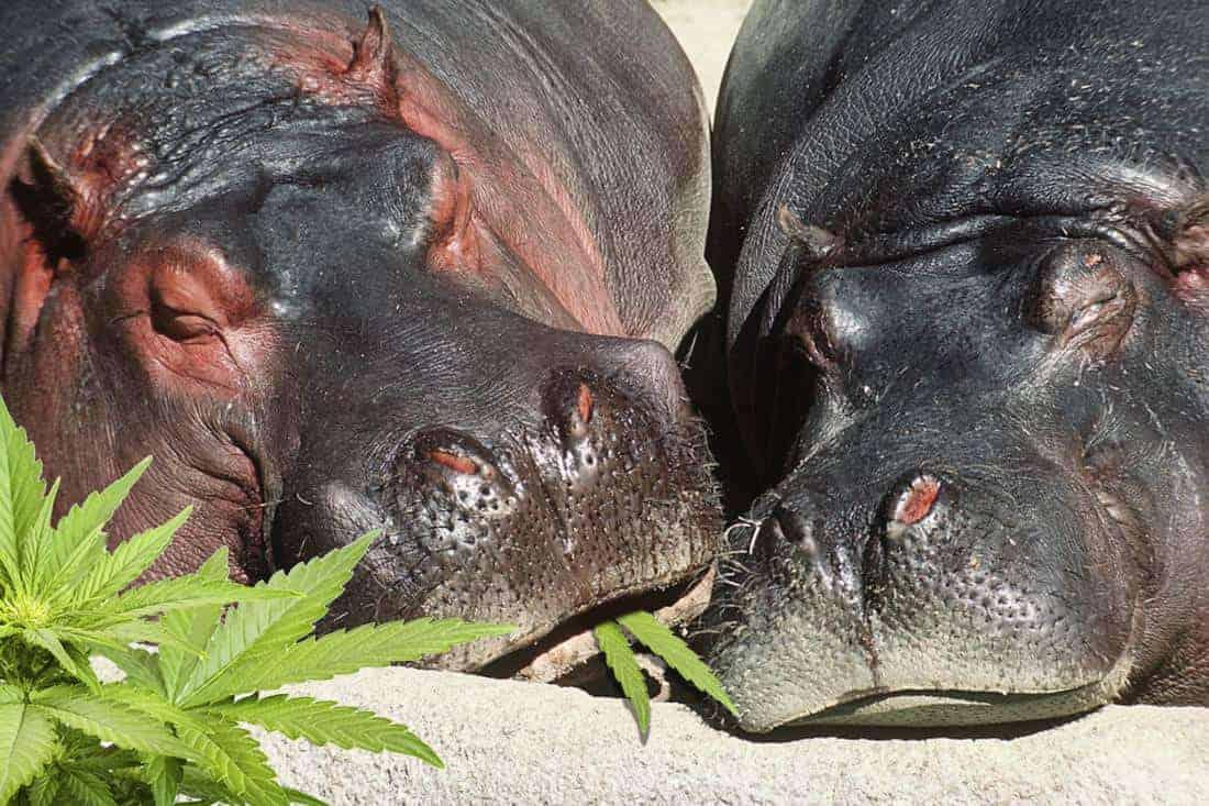 Sleeping Hippos hemp